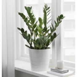 ZAMIOCULCAS PLANT IN A POT