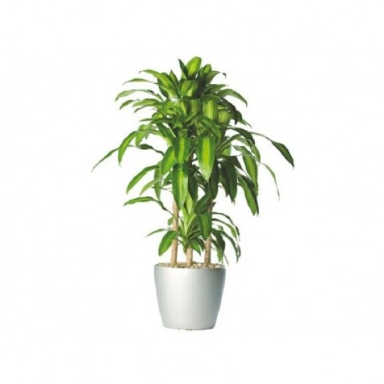 GREEN PLANT FOR INTERIOR  !