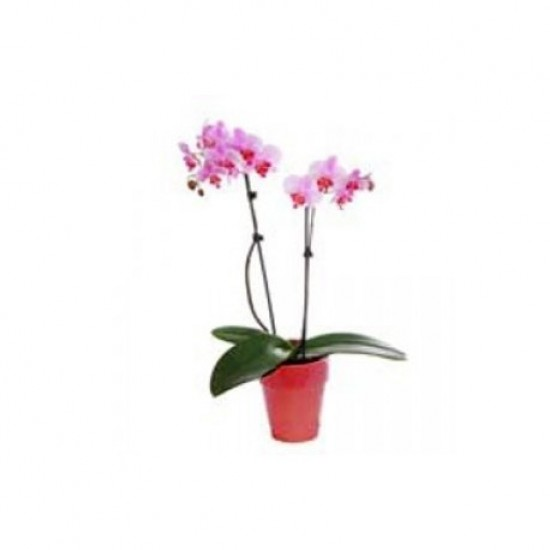 PINK ORCHID PHALAINOPSIS IN TERRACOTTA POT