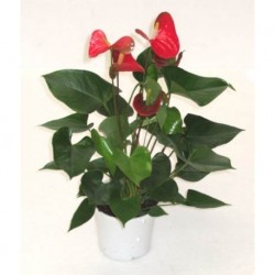 ANTHURIUM PLANT IN A POT