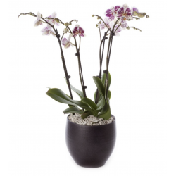 2 PHALAENOPSIS PLANTS ( 4 STEMS IN TOTAL ) IN A CERAMIC POT !!