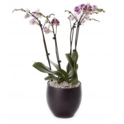 2 PHALAENOPSIS PLANTS ( 4 STEMS IN TOTAL ) IN A CERAMIC POT !!