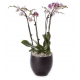 2 Phalaenopsis Plants ( 4 stems in total ) in a Ceramic Pot