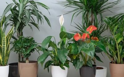How do I care for indoor plants?